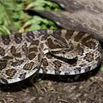"""Elvis"" Grey Rat Snake"