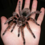 Monrose - Rose Haired Tarantula