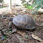 Stan- Russian Tortoise