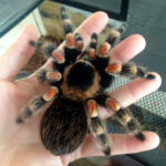 Mexican Red-legged Tarantula for Kids Parties - Nonies Ark