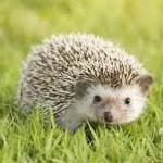 """Harley"" hedgehog"