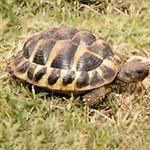 """Hermine"" Hermann's tortoise"